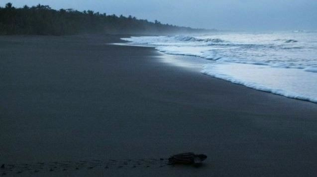 A newly-hatched leatherback sea turtle crawls out to sea for the first time. Photograph: Carlyn Samuels